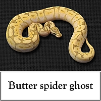 butter-spider-ghost