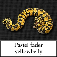 pastel-fader-yellowbelly