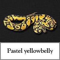 pastel-yellowbelly