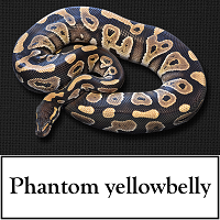 phantom-yellowbelly