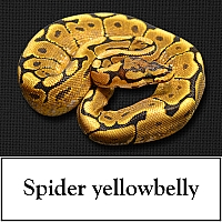spider-yellowbelly