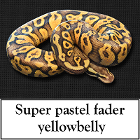 super-pastel-fader-yellowbelly